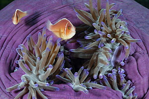 Pink Anemonefish (Amphiprion perideraion) pair in sea anemone, Great Barrier Reef, Australia  -  Gary Bell/ Oceanwide