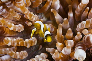 Clark's Anemonefish (Amphiprion clarkii) juvenile in sea anemone, Great Barrier Reef, Australia  -  Gary Bell/ Oceanwide