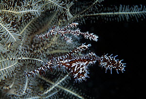Harlequin Ghost Pipefish (Solenostomus paradoxus) male and female sheltering by featherstar, Great Barrier Reef, Australia  -  Gary Bell/ Oceanwide