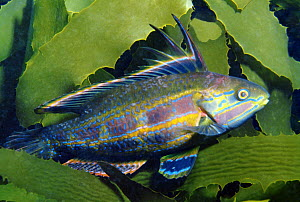 Rainbow Cale (Odax acroptilus) male, Port Phillip Bay, Mornington Peninsula, Victoria, Australia - Gary Bell/ Oceanwide