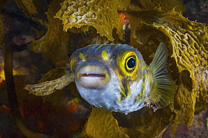 Porcupinefish (Diodon nicthemerus), Port Phillip Bay, Mornington Peninsula, Victoria, Australia - Gary Bell/ Oceanwide