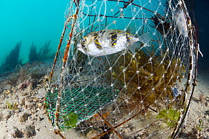 Porcupinefish (Diodon nicthemerus) in fish trap, Port Phillip Bay, Mornington Peninsula, Victoria, Australia - Gary Bell/ Oceanwide