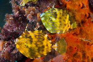 Mosaic Leatherjacket (Eubalichthys mosaicus) pair, Port Phillip Bay, Mornington Peninsula, Victoria, Australia - Gary Bell/ Oceanwide