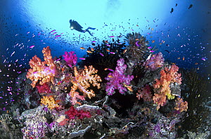Yellowstripe Anthias (Pseudanthias tuka) school amongst Soft Coral (Dendronephthya sp), Indo-Pacific  -  Gary Bell/ Oceanwide