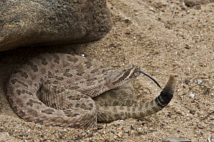 Grand Canyon Rattlesnake (Crotalus oreganus abyssus) flicking tongue, native to North America - Pete Oxford