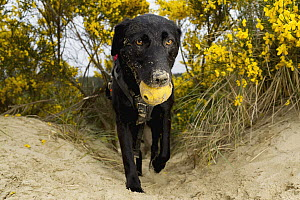 Domestic Dog (Canis familiaris) named Hooper, a scent detection dog with Conservation Canines, carrying toy, Oregon Dunes National Recreation Area, Oregon  -  Jaymi Heimbuch