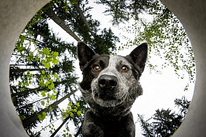 Domestic Dog (Canis familiaris) named Dio, a scent detection dog with Conservation Canines, smelling scent, Pack Forest, Eatonville, Washington  -  Jaymi Heimbuch