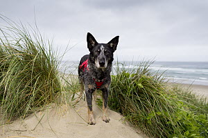 Domestic Dog (Canis familiaris) named Max, a scent detection dog with Conservation Canines, on beach, Oregon Dunes National Recreation Area, Oregon  -  Jaymi Heimbuch