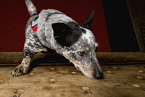 Domestic Dog (Canis familiaris) named Zilly, a scent detection dog with Conservation Canines, smelling scent detection training board, Pack Forest, Eatonville, Washington - Jaymi Heimbuch