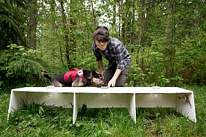 Domestic Dog (Canis familiaris) named Skye, a scent detection dog with Conservation Canines, being trained by field technician Suzie Marlow, Pack Forest, Eatonville, Washington - Jaymi Heimbuch