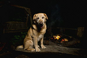 Domestic Dog (Canis familiaris) named Chester, a scent detection dog with Conservation Canines, at campfire, Pack Forest, Eatonville, Washington - Jaymi Heimbuch