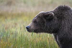 Grizzly Bear (Ursus arctos horribilis) feeding on grass, Silver Salmon Creek, Lake Clark National Park, Alaska - Sean Crane