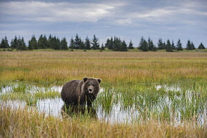 Grizzly Bear (Ursus arctos horribilis) cub feeding in wetland, Silver Salmon Creek, Lake Clark National Park, Alaska - Sean Crane