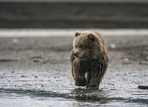 Grizzly Bear (Ursus arctos horribilis) cub on riverbank, Silver Salmon Creek, Lake Clark National Park, Alaska - Sean Crane