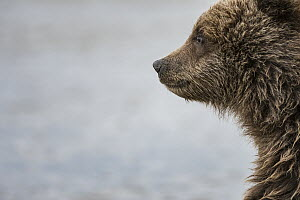Grizzly Bear (Ursus arctos horribilis) cub, Silver Salmon Creek, Lake Clark National Park, Alaska - Sean Crane