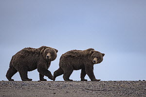 Grizzly Bear (Ursus arctos horribilis) pair on beach, Silver Salmon Creek, Lake Clark National Park, Alaska - Sean Crane