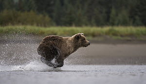 Grizzly Bear (Ursus arctos horribilis) fishing for salmon, Silver Salmon Creek, Lake Clark National Park, Alaska - Sean Crane