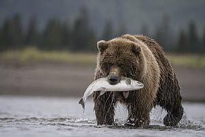 Grizzly Bear (Ursus arctos horribilis) with Coho Salmon (Oncorhynchus kisutch) prey, Lake Clark National Park, Alaska - Sean Crane