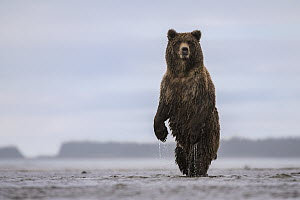 Grizzly Bear (Ursus arctos horribilis) on alert, Silver Salmon Creek, Lake Clark National Park, Alaska - Sean Crane