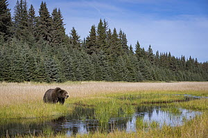 Grizzly Bear (Ursus arctos horribilis) in meadow, Silver Salmon Creek, Lake Clark National Park, Alaska - Sean Crane