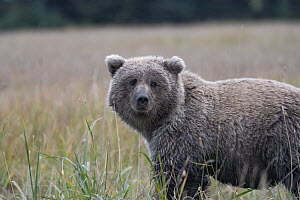 Grizzly Bear (Ursus arctos horribilis) sub-adult, Silver Salmon Creek, Lake Clark National Park, Alaska - Sean Crane