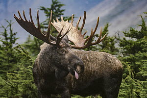 Alaska Moose (Alces alces gigas) bull sticking out tongue, Chugach State Park, Alaska - Sean Crane