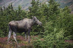 Alaska Moose (Alces alces gigas) female in autumn, Chugach State Park, Alaska - Sean Crane