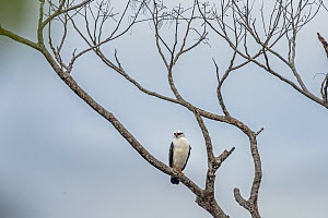 Black-faced Hawk (Leucopternis melanops), Putumayo, Colombia - Thomas Marent