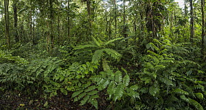 Tree fern in rainforest, Putumayo, Colombia  -  Thomas Marent