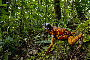 Splendid Poison Dart Frog (Dendrobates sylvaticus) in rainforest, Timbiqui, Colombia - Thomas Marent