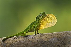 Boulenger's Green Anole (Anolis chloris) male displaying, Tatama National Park, Colombia  -  Thomas Marent