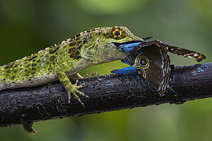 Fraser's Anole (Anolis fraseri) feeding on Morpho Butterfly (Morpho sp), Valle del Cauca, Colombia  -  Thomas Marent