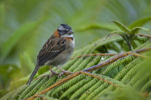 Rufous-collared Sparrow (Zonotrichia capensis), Tatama National Park, Colombia  -  Thomas Marent