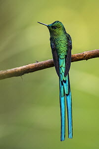 Long-tailed Sylph (Aglaiocercus kingi) hummingbird, Rio Blanco Nature Reserve, Colombia  -  Thomas Marent