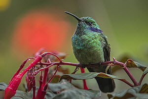 Green Violet-ear (Colibri thalassinus) hummingbird, Rio Blanco Nature Reserve, Colombia  -  Thomas Marent