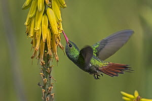 Rufous-tailed Hummingbird (Amazilia tzacatl) feeding on flower nectar, Valle del Cauca, Colombia  -  Thomas Marent