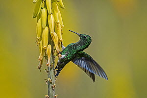 Steely-vented Hummingbird (Amazilia saucerrottei) feeding on flower nectar, Valle del Cauca, Colombia  -  Thomas Marent