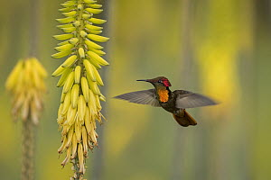 Ruby-topaz Hummingbird (Chrysolampis mosquitus) feeding on flower nectar, Valle del Cauca, Colombia  -  Thomas Marent
