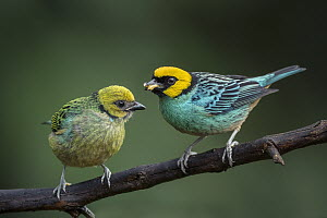 Saffron-crowned Tanager (Tangara xanthocephala) parent bringing food to fledgling, Valle del Cauca, Colombia  -  Thomas Marent