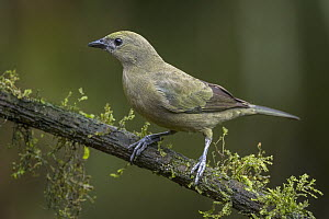 Palm Tanager (Thraupis palmarum), Valle del Cauca, Colombia  -  Thomas Marent