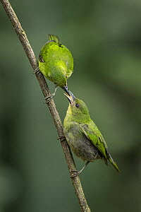 Green Honeycreeper (Chlorophanes spiza) mother feeding fledgling, Valle del Cauca, Colombia  -  Thomas Marent