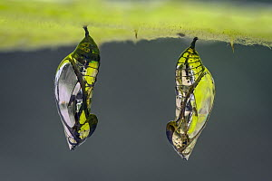 Tigerwing butterfly (Mechanitis sp.), two chrysalis, Ithomiini, Santa Maria, Boyac�,  Colombia  -  Thomas Marent