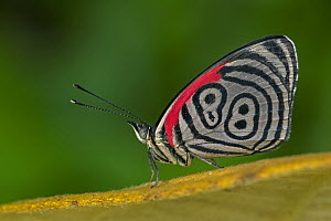 Cramer's Eighty-eight (Diaethria clymena) butterfly, Tatama National Park, Colombia  -  Thomas Marent