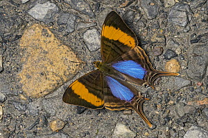 Corinna Daggerwing (Marpesia corinna) butterfly, Santa Maria, Colombia  -  Thomas Marent