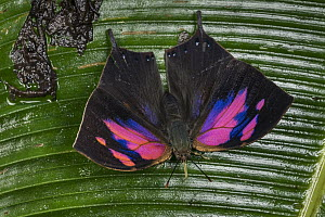 Superb Leafwing (Fountainea nessus) butterfly, Tatama National Park, Colombia - Thomas Marent