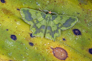 Geometer Moth (Cathydata batina), Tatama National Park, Colombia  -  Thomas Marent