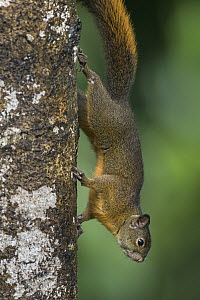 Andean Squirrel (Sciurus pucheranii), Valle del Cauca, Colombia  -  Thomas Marent