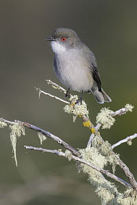 Fire-eyed Diucon (Xolmis pyrope), Andes, Chile  -  Glenn Bartley/ BIA