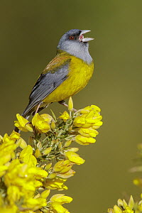 Patagonian Sierra-Finch (Phrygilus patagonicus) male calling, Andes, Chile  -  Glenn Bartley/ BIA