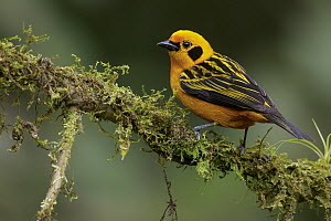 Golden Tanager (Tangara arthus), Andes, Colombia  -  Glenn Bartley/ BIA